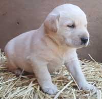 labrador breeders family dogs